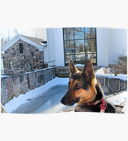 German Shepard in thought Poster