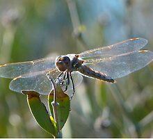 Glass Wings by RielTeris