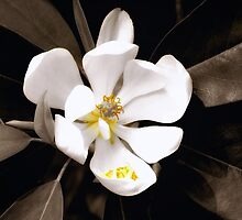 Sweet Magnolia by Sharon Woerner