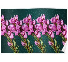 Boronia Flowers Poster