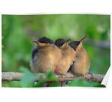 Eastern Spinebill (Acanthorhynchus tenuirostris) Poster