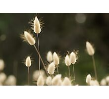 Summer Hare's Tail #1 Photographic Print