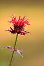 Single Beauty by NatureGreeting Cards ©ccwri