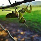 Mantis by Barbara Morrison