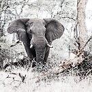 Elephant challenge, Kruger by herbpayne
