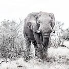 Checked out by an elephant, Kruger by herbpayne