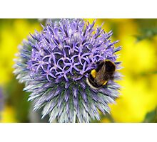 Bumblebee on Globe Thistle Photographic Print