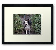 The Shy Wolf Sanctuary Framed Print