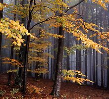 Autumn colored beech trees on a foggy day by intensivelight