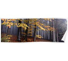 Autumn colored beech trees on a foggy day Poster