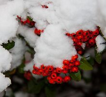 Snow on Berries by Ian-G