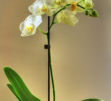 Orchid by Nigel Bangert