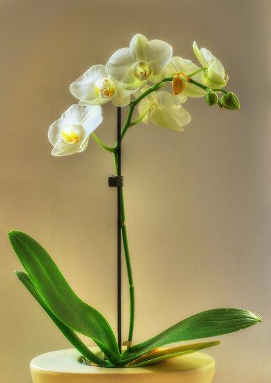 Orchid by Nigel Bangert