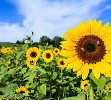 Sunflower field with blue sky by thegaffphoto