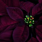 Midnight Promise Christmas Eve...Poinsettia by Poete100