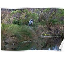 Great Blue Heron in breeding plumage Poster