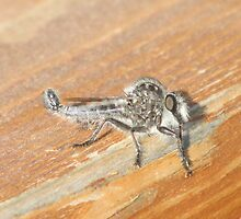 An Exotic Looking Robber Fly by Ingasi
