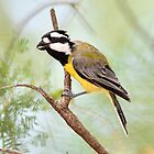 Crested Shrike-Tit taken at Goulburn River NP near Ulan by Alwyn Simple