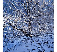 Snow covered beech tree and blue sky Photographic Print