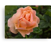 Peach Rose with Raindrops Canvas Print