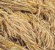 Wheat by Dobromir Dobrinov