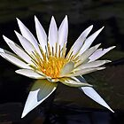 Water Lily - White and Yellow by cclaude