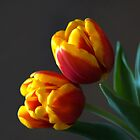 Spring Tulips by Colleen Drew