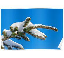 Snowy Pine Bough Poster