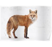 Fox on white Poster