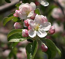 Apple Blossom by Henry Kowalski