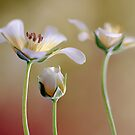 Limnanthes by Mandy Disher