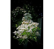 White Blossoms Photographic Print