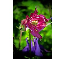 Aquilegia in Pink Photographic Print