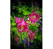 Aquilega's in Bloom Photographic Print