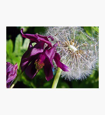 Aquilegia & Dandelion Photographic Print