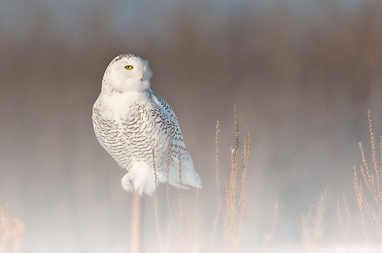 Foggy Snowy Owl by Michael Cummings