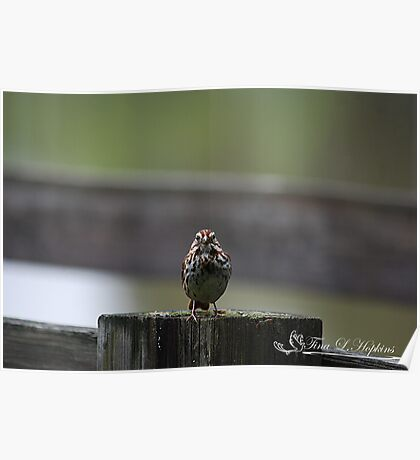 Staring Song Sparrow Poster