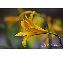 Yellow Day Lily  Photographic Print