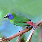 Blue-faced Parrot-Finch taken Mt Lewis by Alwyn Simple