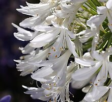 flower-agapanthus-white by Joy Watson
