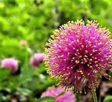 Sensitive Briar - Herman Baker Park, Sherman, Texas, USA by aprilann