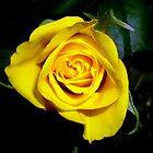 One yellow rose by Segalili
