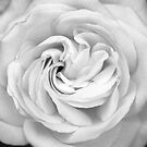 White Rose by Peter Sweeney