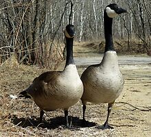 Pair of Canada Geese Walking Down a Path by rhamm