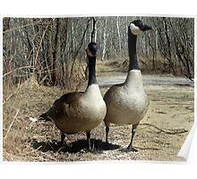 Pair of Canada Geese Walking Down a Path Poster