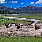 Bison In Hayden Valley by Brenton Cooper