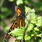 Monarch Butterfly Photograph by ThistleandThyme