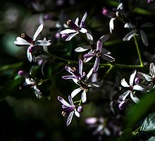 Chinaberry Blossoms by Patito49
