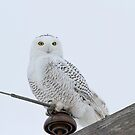 Portrait Of A Snowy Owl by Thomas Young