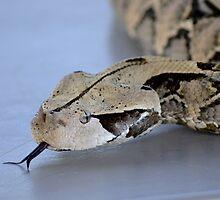 Gaboon Viper/Adder by litbykristen